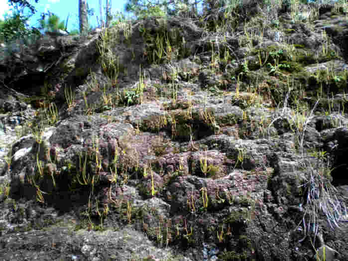 P_heterophylla_El_Huixteco_Taxco18(LR).jpg