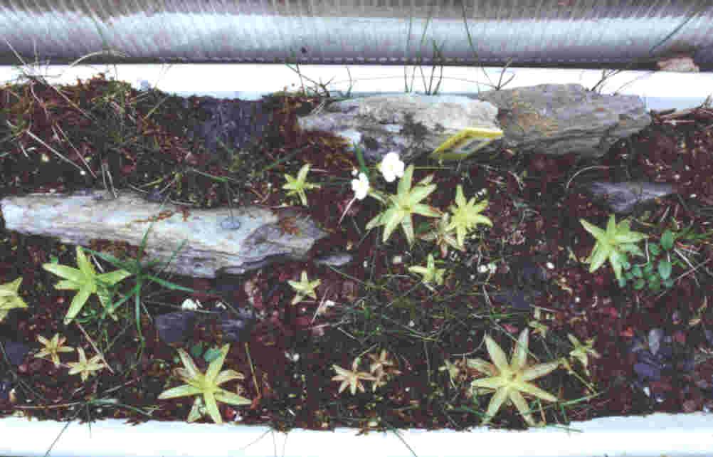 Pinguicula alpina for Plantes jardiniere plein soleil