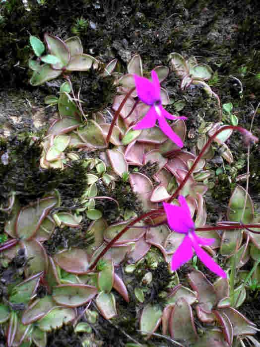 P_orchidioides_Tlacuapa_17(LR).jpg