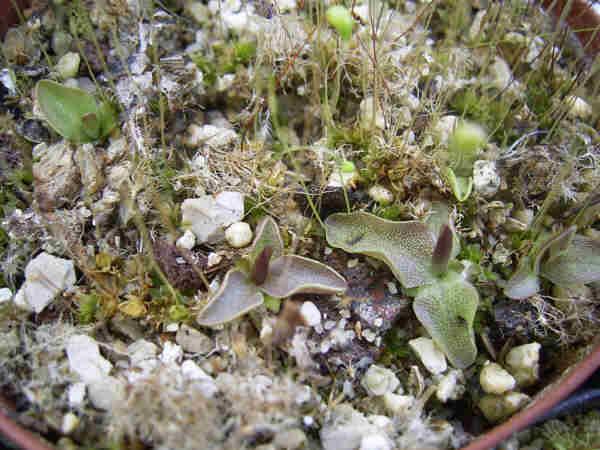 P_longifolia_pineta(LR).jpg